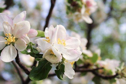 Apple Blossoms, Flowers, Branch, Petals, White Flowers