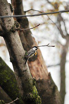 Black-capped Chickadee, Bird, Branch, Perched