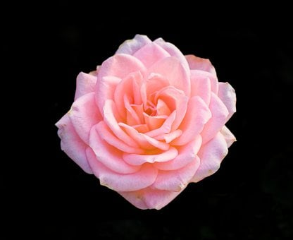 Rose, Flower, Bloom, Blossom, Petals, Flora, Plant