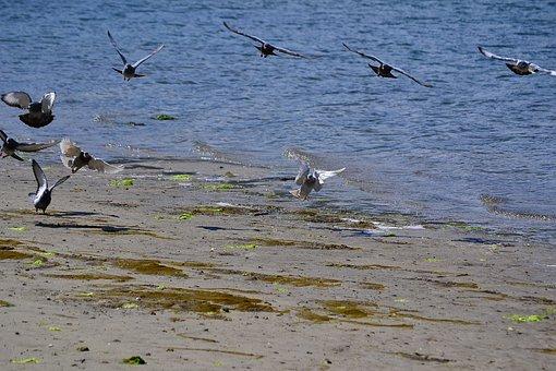 Doves, Pigeons, Beach, Birds, Flying, Animals, Wildlife