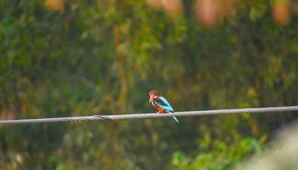 Kingfisher, Small Bird, Fishing Hunter, Bengal Bird
