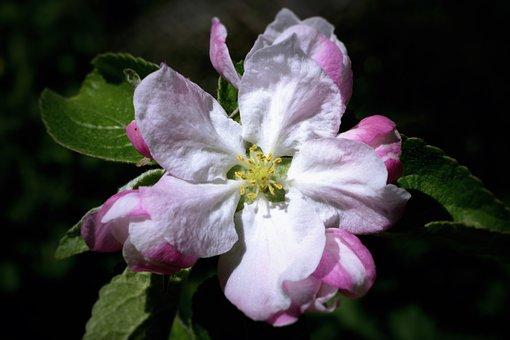 Apple Blossom, Flower, Branch, Petals, White Flower