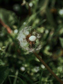 Dandelion, Flower, Spring, Plant, Wind, Flora, Grass