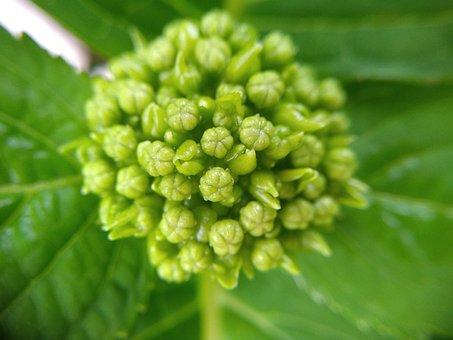 Hydrangea, Green, Flower, Buds, Plant, Bush, Blossom