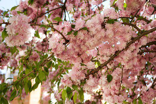 Sakura, Flower, Spring, May, Flowering Trees, Branch