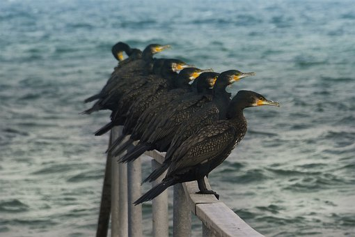 Great Cormorants, Birds, Animals, Perched, Seabirds