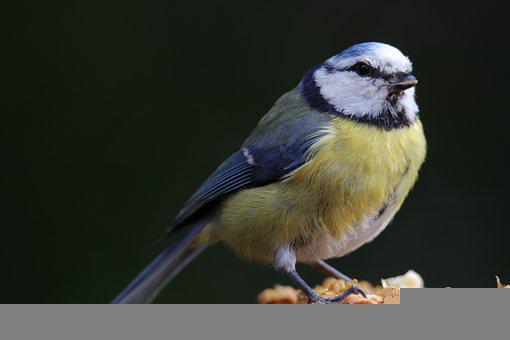 Blue Tit, Bird, Animal, Perched, Tit, Wildlife