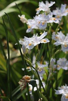 Iris, Flowers, Plants, Japanese Iris, Petals, Bloom