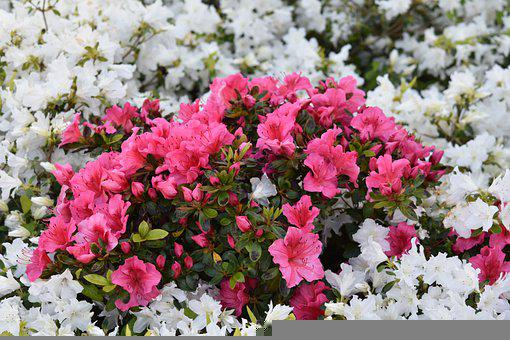 Flowers, Plants, Pink And White Rhododendrons, Flora
