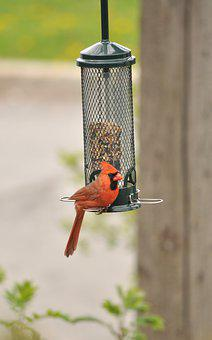 Cardinal, Bird, Birdfeeder, Perched, Male Bird, Redbird