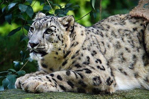Snow Leopard, Zoo, Cat, Predator, Carnivores, Hunter