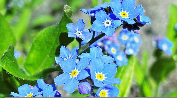 Spring Flowers, Nots, Nature, The Freshness, Blooming