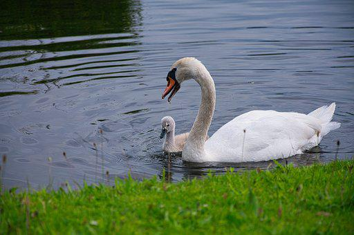 Swans, Cygnet, Lake, Chick, Young Swan, Baby Swan