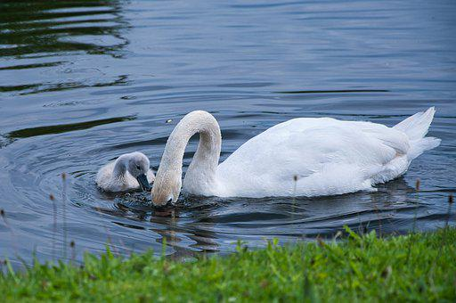 Swans, Cygnet, Lake, Chick, Young Swan