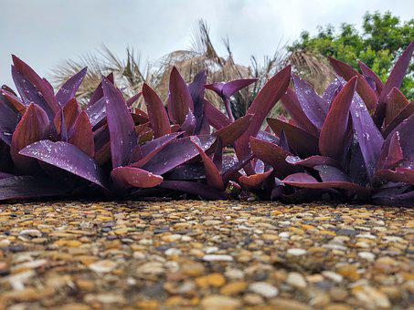 Tradescantia Pallida, Purpurea, Purple Queen