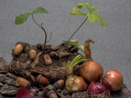 Acorns, Germination, Seedling, Oak Seedling, Onion