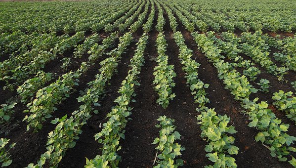 Bt Cotton, Highyielding, Seedlings, Plants, Agriculture