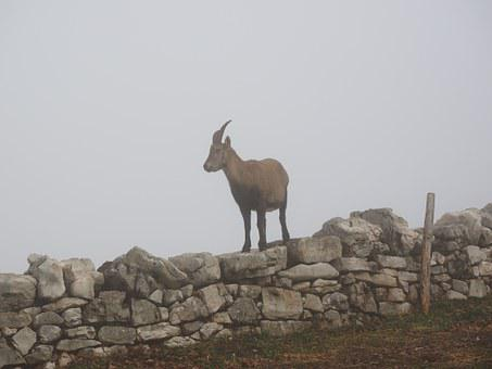 Alpine Ibex, Capricorn, Animal, Fog, Foggy, Capra Ibex