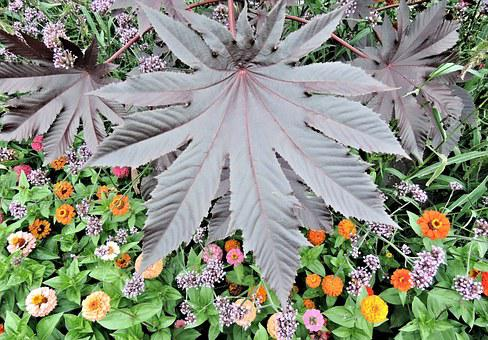 Red Castor Bean Leaf, Poisonous, Annual, Late Summer