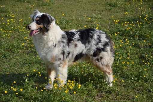 Dog, Young Dog, Australian Sheperd, Schäfer Dog