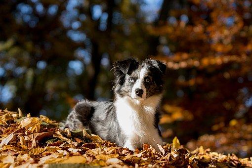 Australian Shepherd Mini, Dog, Leaves, Lying