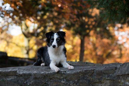 Australian Shepherd Mini, Dog, Wall, Lying
