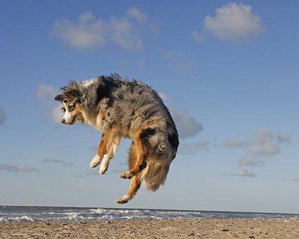 Dog, Beach, Australian Shepherd, Jump, Sea, Coast