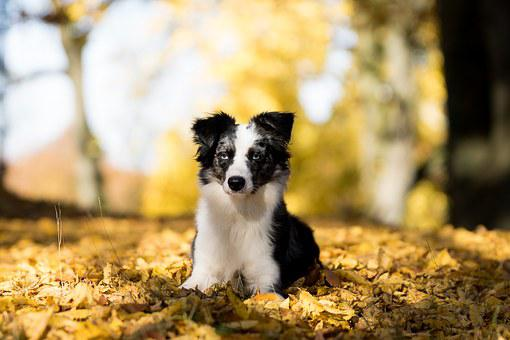 Australian Shepherd Mini, Dog, Trees, Leaves, Autumn