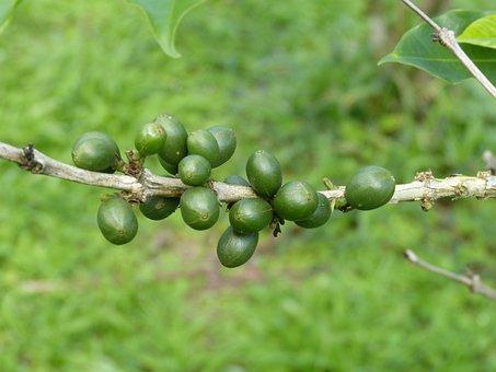 Coffee Beans, Coffee, Berries, Beans, Aroma, Caffeine