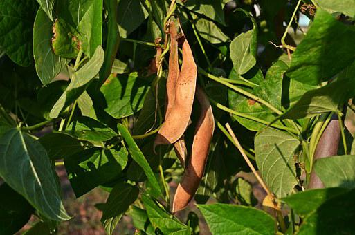 Beans, A Vegetable, The Cultivation Of, Agriculture