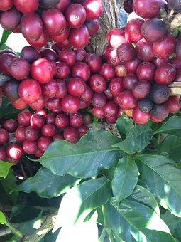 Coffee, Coffee Bean, Coffee Cherry, Farm