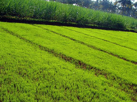 Paddy Nursery, Paddy Seedlings, Agriculture, Cultivate