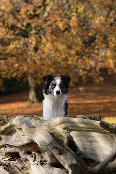 Australian Shepherd Mini, Dog, Tree, Autumn