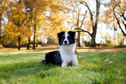 Australian Shepherd Mini, Dog, Lying, Meadow, Trees