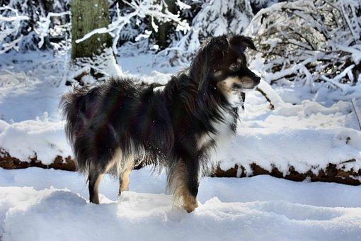 Dog, Australian Shepherd Mini, Snow