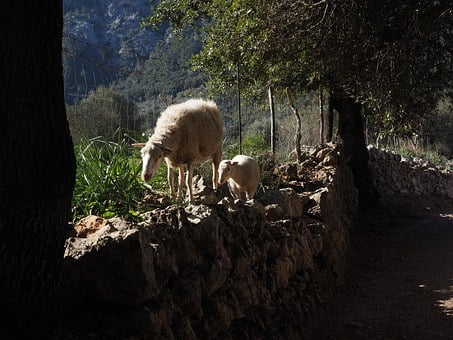 Sheep, Away, Dry Stone Wall, Valley Of Orient, Mallorca