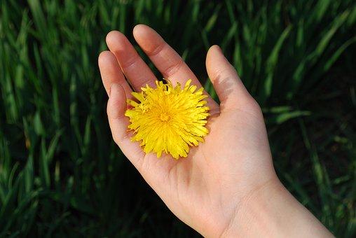Dandelion, Flowers, Floral, Blossom, Petal, Bright