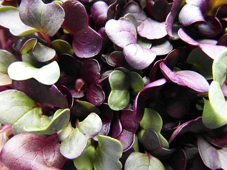 Seedlings, Radix, Grow, Germinate, Bio, Close, Macro