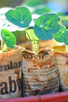 Nasturtium, Seedling, Sowing, Plant, Growing