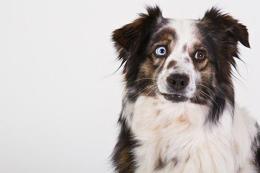 Dog, Australian Shepherd, Portrait, Eye Color, Merle