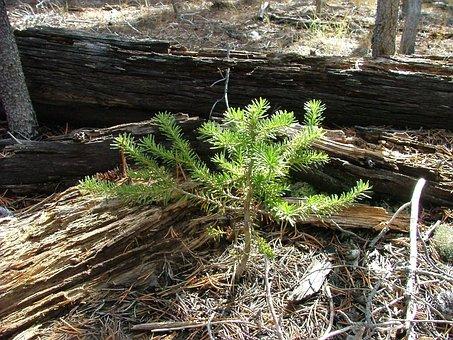 Seedling, Pine, Tree, Grow, Green, Forest, Sapling