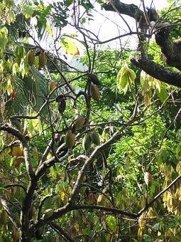 Cocoa, Cocoa Beans, Plant, Cocoa Plant, Tree