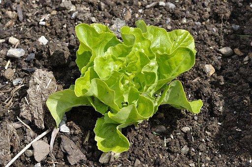 Salad, Lettuce Seedling, Lettuce, Plant, Green, Garden