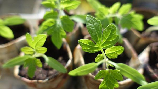 Plant, Seedling, Tomatoes