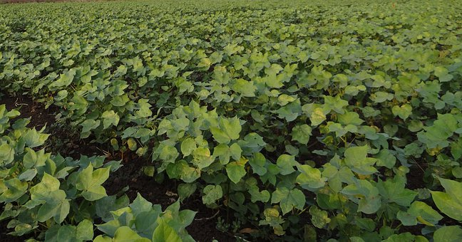 Cotton, Highyielding, Seedlings, Plants, Agriculture