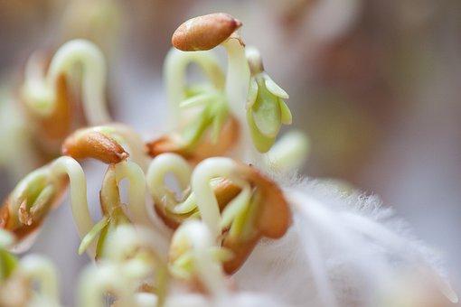 Cress, Seedlings, Seedling, Plant, Developing Germ
