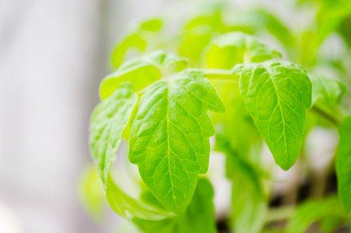 Tomato Plants, Leaves, Plant, Seedlings Of Tomatoes