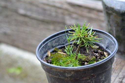 Seedling, The Sapling, Tree, Pine, Young Pine, Breed