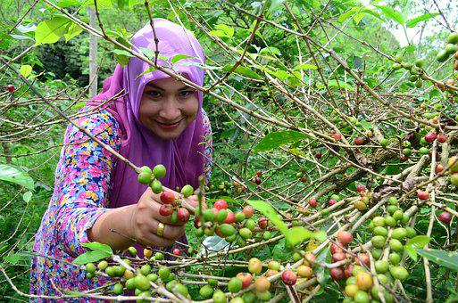 Picking, Coffee Beans, Woman, Coffee, Green, Tropical