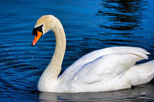 Swan, Bird, Lake, White Swan, Waterfowl